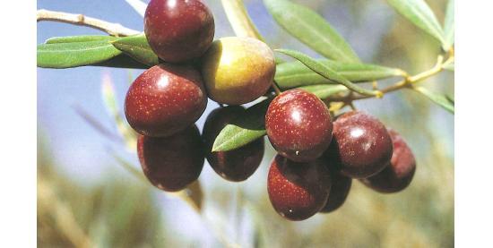 aceituna-manzanilla-sevillana