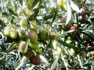 aceituna-verdeja