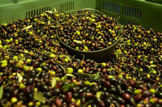 cultivo aceite oliva