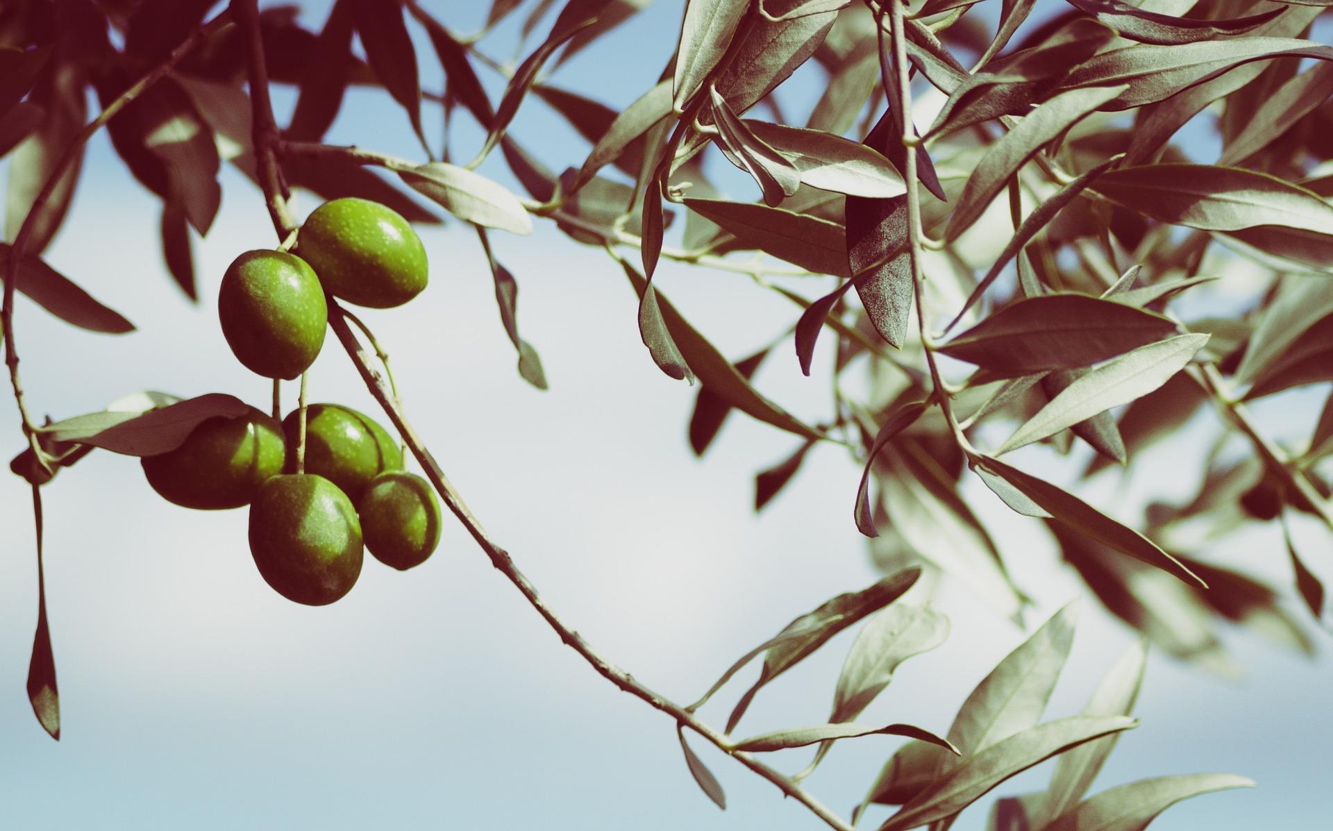 evolucion industria olivera